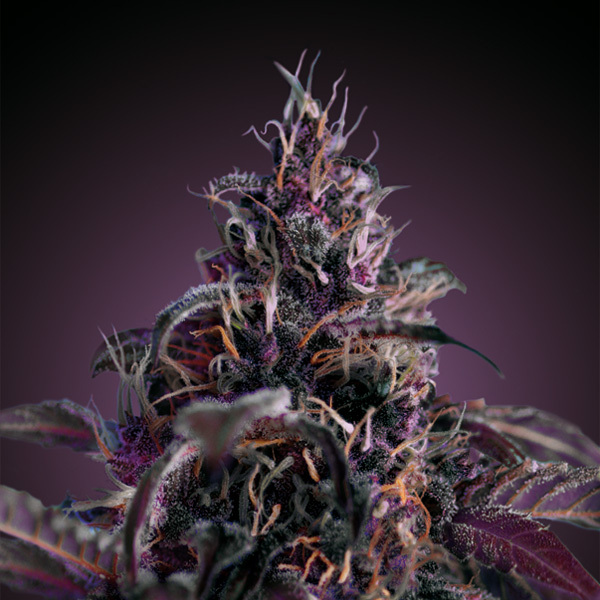 Freedom Seeds - Midnight Express AUTO
