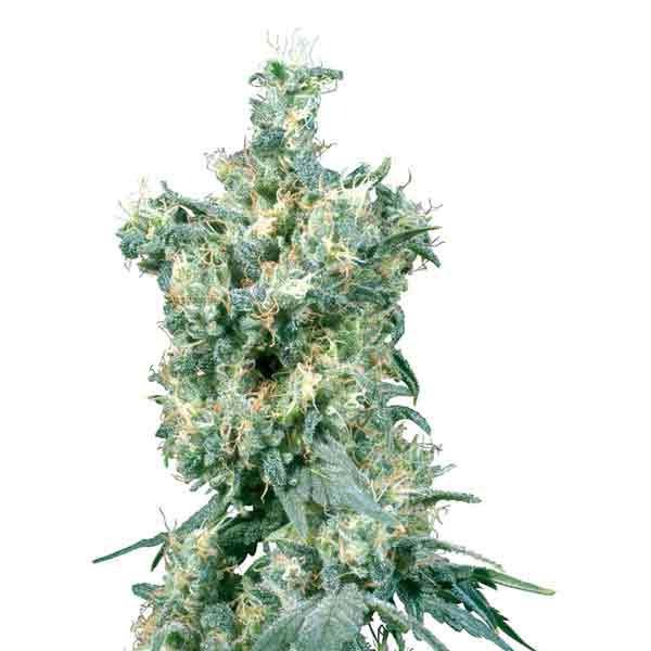 Sensi Seeds - American Dream Regular