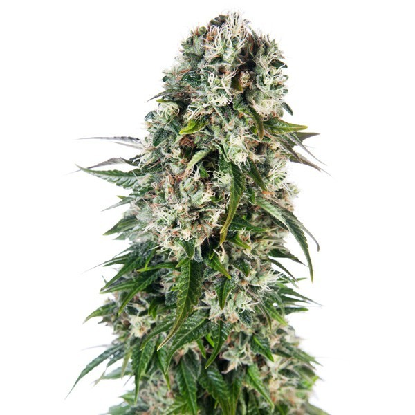 Sensi Seeds - Big Bud AUTO
