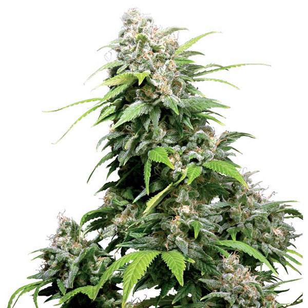 Sensi Seeds - California Indica Regular
