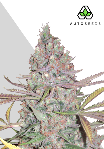 Auto Seeds - Berry Ryder AUTO