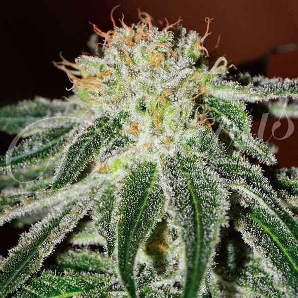 Delicious Seeds - Black Russian