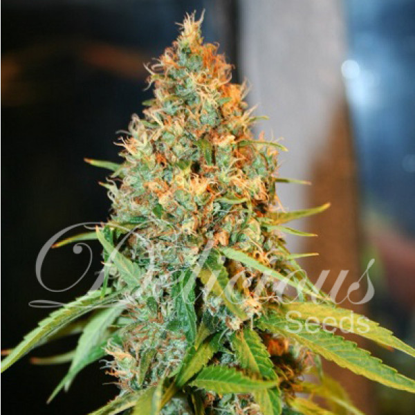 Delicious Seeds - Critical Kali Mist