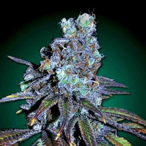 Freedom Seeds - FreeBD (CBD)