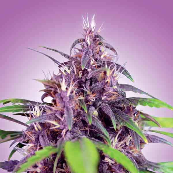 Freedom Seeds - Purple Express AUTO